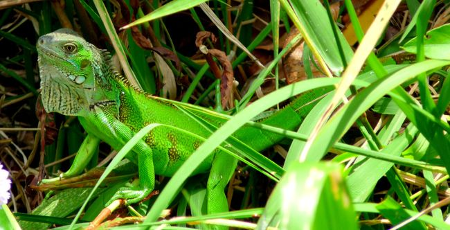 Iguane Panama - Photos : E. Scotto - voyager-magazine.fr
